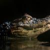 Een breedsnuitkaaiman laat zijn tanden zien / Broad-snouted Caiman showing his teeth (Burgers Zoo, Arnhem)