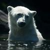 IJsbeer tijdens het zwemmen / Polar bear during swimming (Ouwehands Dierenpark, Rhenen)