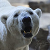 Polar Bear walking around (Ouwehands Dierenpark, Rhenen)