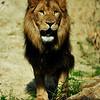 Afrikaanse leeuw kijkt naar het publiek / African Lion looking at the crowd (Dierenpark Emmen)