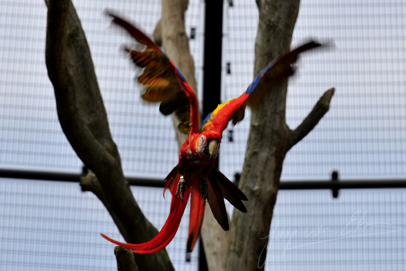 Scarlet macaw in flight (Ouwehands Dierenpark, Rhenen)