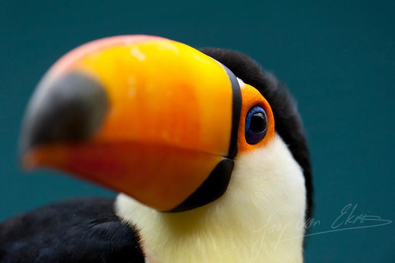 Een nieuwsgierige Toekan / A toucan being interested by the public (Diergaarde Blijdorp, Rotterdam)