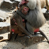 Male hamadryas baboon male comforting mother and child after attack from competing male (Dierenpark Emmen)