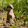 Jong stokstaartje op de uitkijk / Young meerkat on the lookout