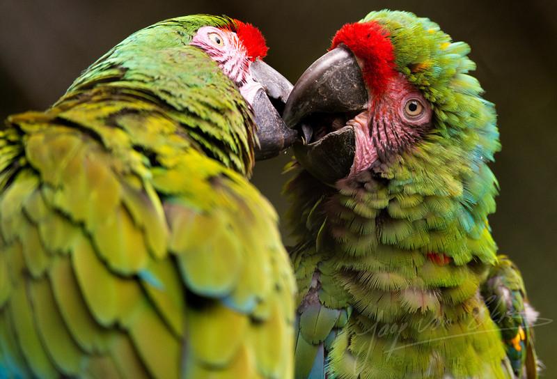 Kussende papagaaien / Kissing macaws