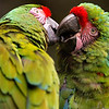 Kussende papagaaien / Kissing macaws