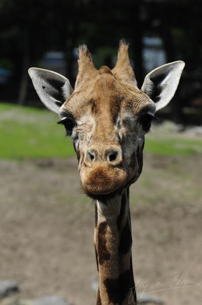 Rothshild giraffe inspecting the audience (Dierenpark Emmen)