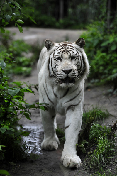 White bengal tiger walking around (Dierenpark Amersfoort)