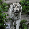 White bengal tiger walking around (Dierenpark Amersfoort)