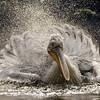 Badderende pelikaan / Bathing pelican