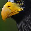 Stellar zeearend / Stellar's Sea Eagle