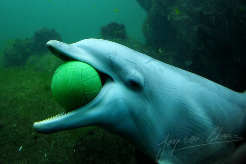 Bottlenose dolphin playing with a ball (Dolfinarium, Harderwijk)