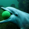 Bottlenose dolphin playing with a ball (Dolfinarium, Harderwijk)