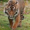 Tijger op zoek naar voedsel / Tiger looking for food (Burgers Zoo, Arnhem)