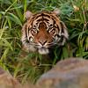 Tijger verstopt zich in het bamboe / Tiger hiding himself in the bushes (Burgers Zoo, Arnhem)