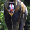 Dominant mandrill male overseeing the horde (Ouwehands Dierenpark, Rhenen)
