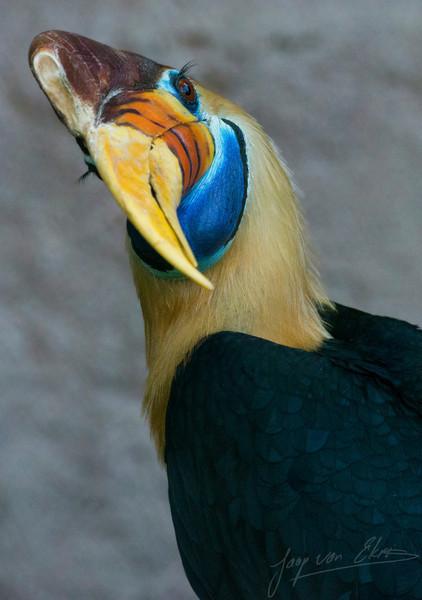 Een Sulawesi-jaarvogel tijdens het poetsen / A knobbed hornbill during cleaning (Ouwehands Dierenpark)
