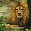 Leeuw pauseert tijdens het eten / Lion having a break during dinner (Burgers Zoo, Arnhem)