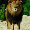 Een afrikaanse leeuw kijkt naar het publiek / African Lion looking at the crowd (Dierenpark Emmen)