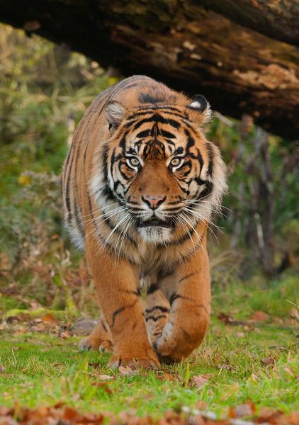 Tijger op zoek naar eten / Tiger looking for food (Burgers Zoo, Arnhem)