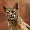 Mexican bobcat spotting potential prey (Burgers Zoo, Arnhem)
