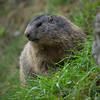 Alpenmarmot in het gras / Alpine Marmot in the grass