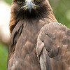 Steenarend / Golden Eagle (Alpenzoo, Innsbruck)
