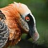 Profiel van een Lammergier / Profile of a Bearded Vulture (Tiergarten Schönbrunn, Vienna)
