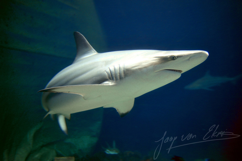 Side shot of two blacktip sharks (Burgers Zoo, Arnhem)