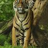 Sumatran Tiger keeping a watchful eye on the audience (Burgers Zoo, Arnhem)