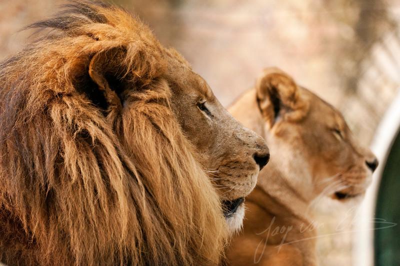 Mannelijke leeuw / Male lion (Dierenpark Amersfoort)