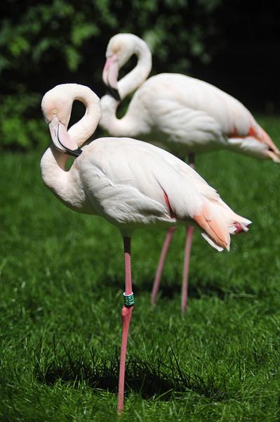 Flamingo's resting (Burgers Zoo, Arnhem)