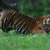 Stoeiende tijgerwelpjes / Romping Tigercubs