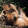 Stoeiende Lynx-kittens / Romping Lynx kittens