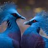 Een koppeltje waaierduiven / A pair of victoria crowned pigeons (Burgers Zoo, Arnhem)