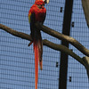 Scarlet macaw resting on a tree (Ouwehands Dierenpark, Rhenen)