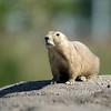 Waakzame zwartstaartprairiehond / Black-tailed prairie dog being alert (Diergaarde Blijdorp, Rotterdam)