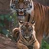 Tijgerwelpje met vader / Tiger cub with father