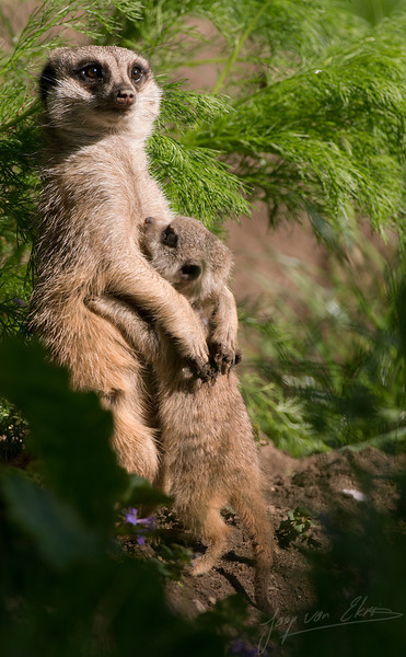 Moeder en baby stokstaartje / Mother and child meerkat