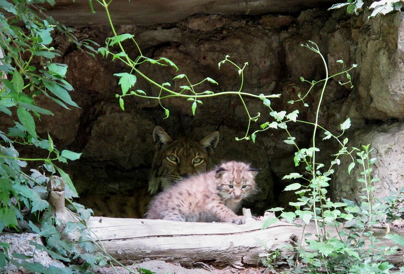 Kitten Lynx leaving the nest for the first time (Alpenzoo, Innsbruck)