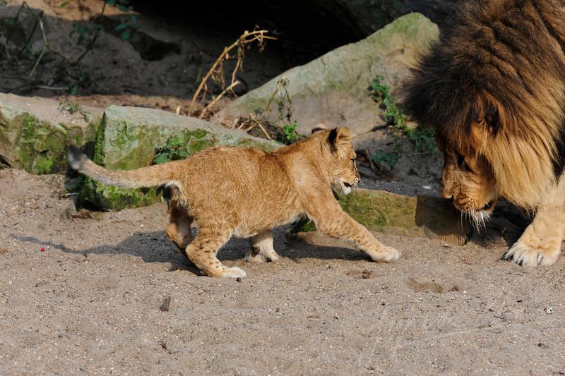 Leeuwenwelp speelt met zijn vader / Lion cub playing with his father