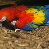 Scarlet macaw with 10 days old baby parrot (Ouwehands Dierenpark, Rhenen)
