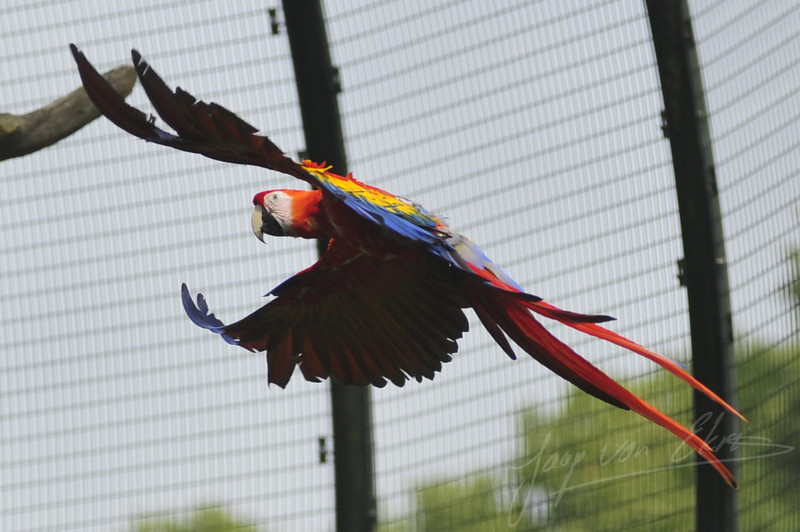 Scarlet macaw in flight (Ouwehands Dierenpark, Rhenen)