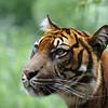 Sumatran tiger staring at the public (Diergaarde Blijdorp, Rotterdam)