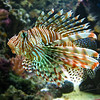 Lion fish (Ouwehands Dierenpark, Rhenen)