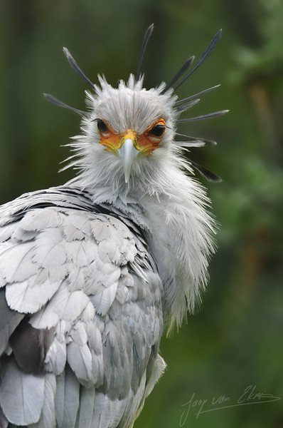 Secretary Bird looking around (Burgers Zoo, Arnhem)
