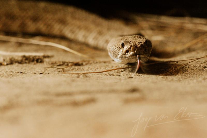 A red diamond rattlesnake exploring its environment (Burgers Zoo, Arnhem)