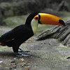 Young Toco Toucan sitting on the ground (Diergaarde Blijdorp, Rotterdam)