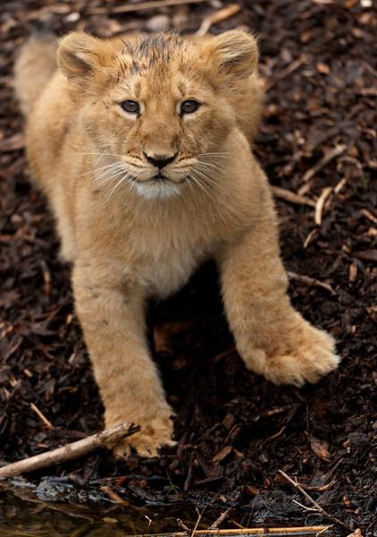 Een zittende leeuwenwelp / A lion cub sitting down (Diergaarde Blijdorp, Rotterdam)