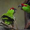 Two thick-billed parrots fighting (Burgers Zoo, Arnhem)